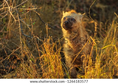 A cute spotted hyena cub in Kruger National Park, South Africa. Iena ridens or hyena maculata in grassland habitat. Dry season.
