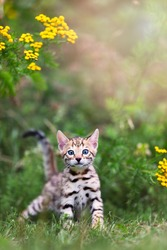 A cute spotted purebred Bengal kitten outdoors in the grass with flowers in the background. Summertime adventure. The kitten is 7 weeks old. Copy space room for text.
