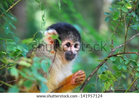 A cute Squirrel Monkey peeking between the trees #141957124