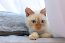 A cute Thai (Siamese) red point cat with red eyes, a nose and blue eyes lies on a bed on gray bedding near the pillow and peeps from behind the curtain.