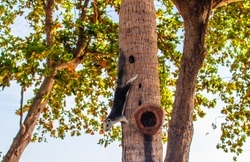 A cute Thai squirrel coming down a tree in the sunny forest