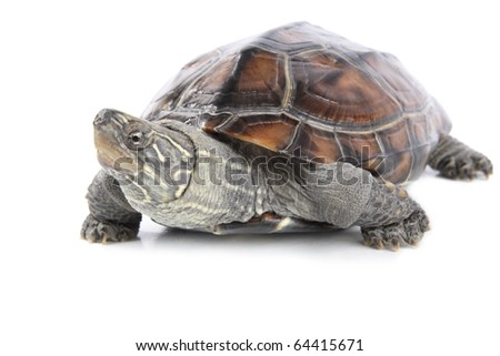 a cute tortoise with white background