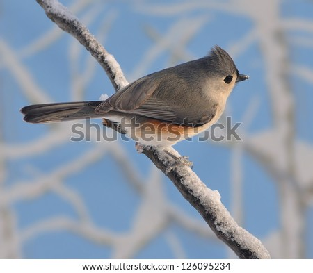 A cute Tufted Titmouse (Baeolophus bicolor) on a snowy branch with blue sky in the background.