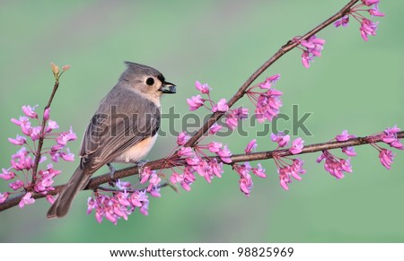 A cute Tufted Titmouse (Baeolophus bicolor) on a spring Redbud branch.