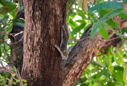 A cute Variable or Finlayson's Squirrel on a tree