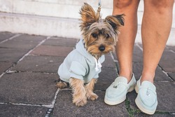 A cute view of a tiny black and brown puppy wearing clothes sitting on the ground outside