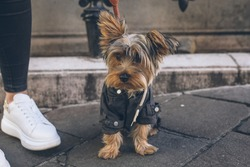 A cute view of a tiny black and brown puppy with a leash sitting on the ground outside