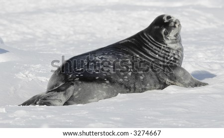 A cute Weddell seal baby on the Antarctic pack ice.