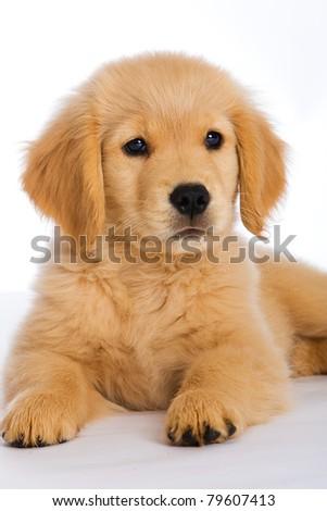 a cute 9 week old Golden Retriever Puppy.