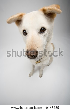 A cute white dog with floppy ears and a fuzzy face.