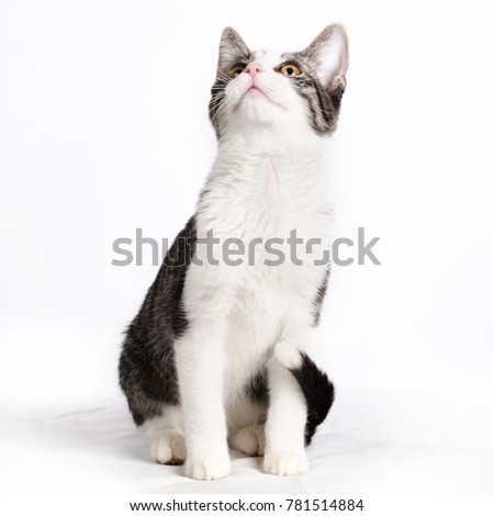 A cute white gray tabby cat looking up isolated on a white background. #781514884
