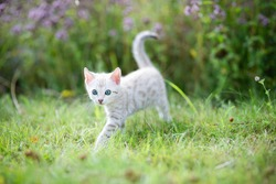 A cute white little Bengal kitten outdoors in the grass with flowers in the background. The curious little cat is 7 weeks old. The kitten is moving towards the camera.