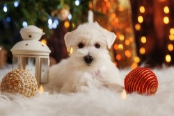 A cute white miniature schnauzer puppy lies on a white fur rug against the backdrop of a Christmas tree and twinkling lights of a garland.