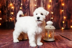 A cute white miniature schnauzer puppy stands on the floor against a brown plank background with twinkling lights. Nearby there is a white glowing flashlight and a golden Christmas tree ball