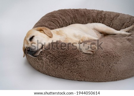 A cute yellow Labrador is lying on the dog bed. Light background. The dog sleeps on the Plush Fleecy Pet Cave