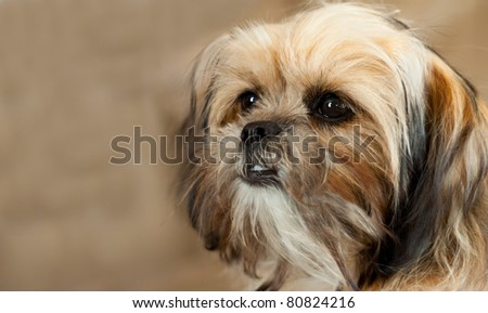 A cute Yorkshire Terrier (breed Shitzu Yorkie) puppy dog poses for his portrait.