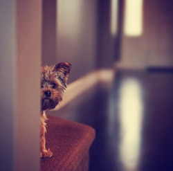 a cute yorkshire terrier peeking from around a wall toned with a retro vintage instagram filter effect app or action