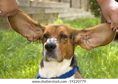 A cute young beagle puppy with huge floppy ears