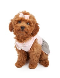A cute young red Poodle puppy wearing a pink dress, hair bow and pearl and rhinestone necklace.