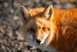 A cute young wild true red fox stands on all four paws attentively staring ahead as it hunts. It has a sharp piercing stare, orange soft fluffy fur and a long red tail with a white patch at the end.