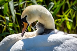 A cygnet nestled against its mother, in the spring sunshine