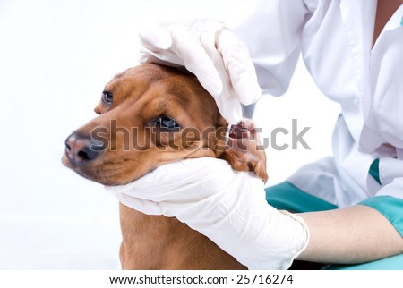 A Dachshund breed dog getting ear cleaned