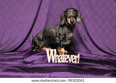 A Dachshund Dog Sits in Front of a Sign that reads 'Whatever!'