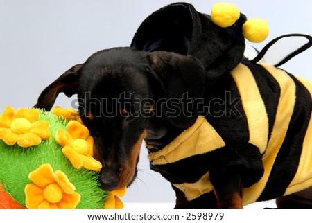 A dachshund puppy biting flower pot