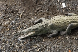 A daily life for Crocodiles in Costa Rica