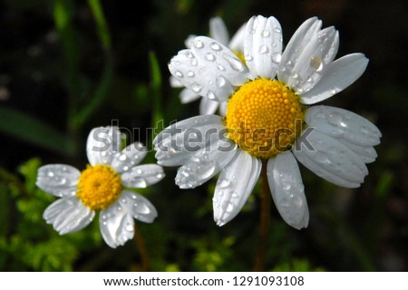 A daisy flower closeup after a rain. Beautiful drawing in a flower of a camomile. Flora and Fauna of Marmaris Mugla. Aegean and Mediterranean region.