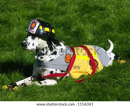 A Dalmatian dog dressed in a fire department mascot costume. - stock photo