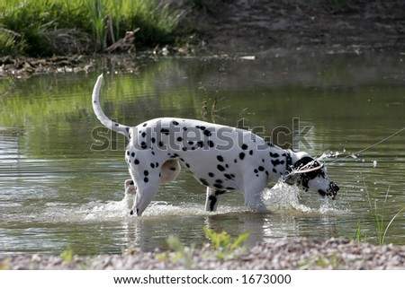 A Dalmatian dog plays in a pond to cool off during a daytime walk (shallow focus).