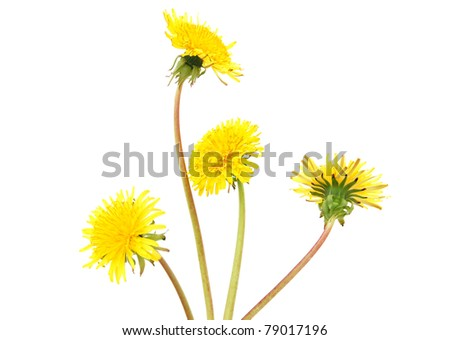 A dandelion blooming bouquet