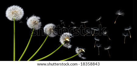 A Dandelion blowing