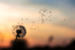 A Dandelion blowing seeds in the wind at dawn.Closeup,macro