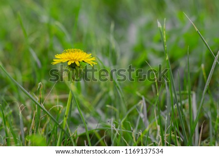 Stock Photo A dandelion flower with a yellow blooming head rises above the trim lawn and serves as the image's single focal point. Foreground and background are very blurred. Symbolizes loneliness