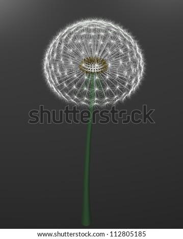 a dandelion on gray background