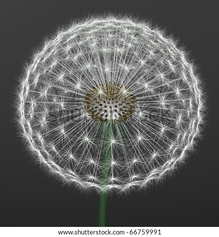 a dandelion on gray background
