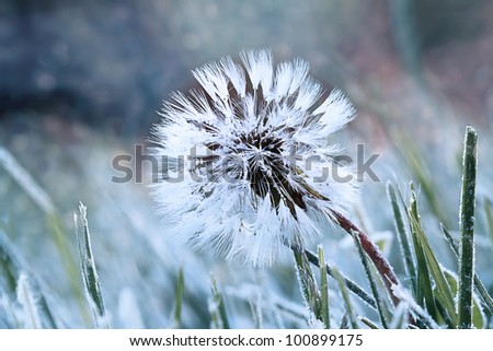 A dandelion seed head with a coating of frost in the morning.