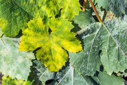 A dangerous disease of grape Mildew — downy mildew ( lat. Of plasmopara viticola ). Grape leaves, due to the active reproduction of the fungus, covered with moldy plaque