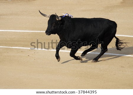 a dangerous fighting bull in a festival