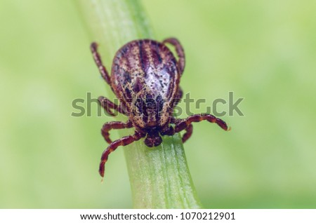 A dangerous parasite and infection carrier mite sitting on a green leaf. - Shutterstock ID 1070212901