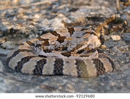 A dangerous snake coiled on a rock at sunset waiting for prey - Timber Rattlesnake, Crotalus horridus