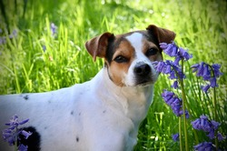 A danish swedish farmdog with bluebell flowers and green grass background in the summer atmosphere
