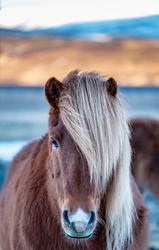 A dark brown icelandic horse with side-swept bangs hair style is staring at my camera.