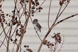 A dark eyed junco with slate colored feathers and a white breast perched on a bare branch in a bush with seed pods ready to be pecked and eaten.  the bird's head is twisted and looking to the left.