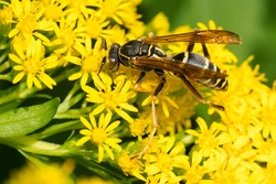 A Dark Paper Wasp is collecting nectar from a yellow Goldenrod Flower. Also known as a Northern Paper Wasp. Taylor Creek Park, Toronto, Ontario, Canada.
