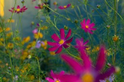 A dark pink Cosmos flower on a natural green background with selective focus.