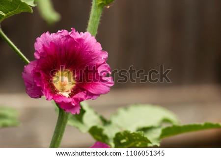a dark pink hollyhock flowers...