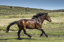 A Dartmoor Pony stallion runs free in the Dartmoor National Park.